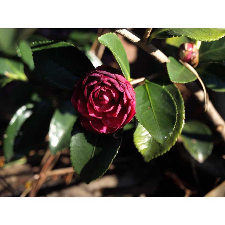 Camellia hiemalis Greens Blues