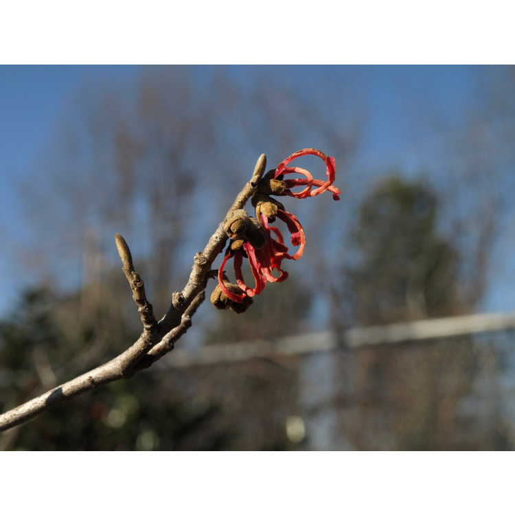 Hamamelis 'Feuerzauber' - common witchhazel