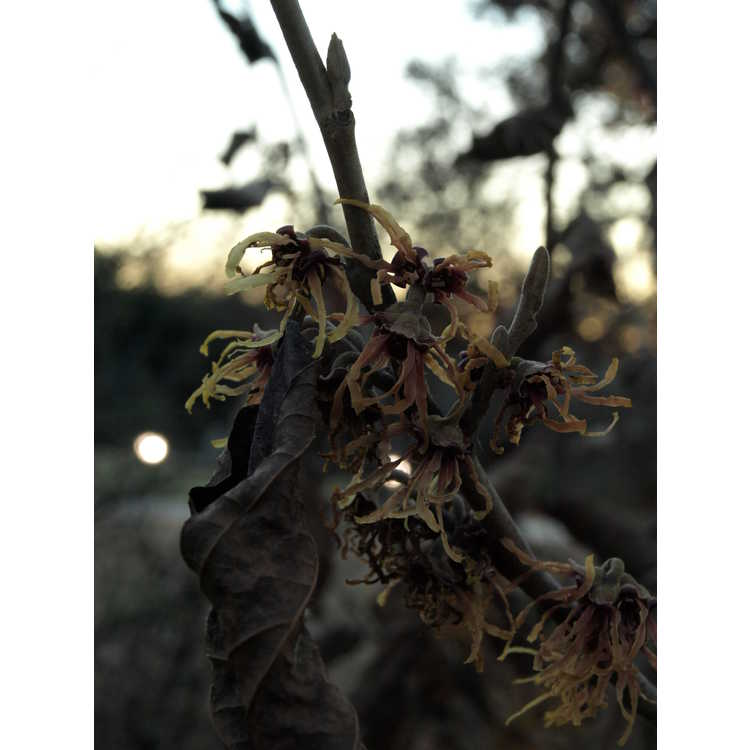 Hamamelis vernalis Klmnineteen Autumn Embers