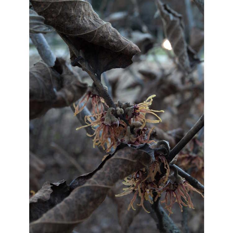 Hamamelis vernalis 'Klmnineteen' - Autumn Embers Ozark witchhazel