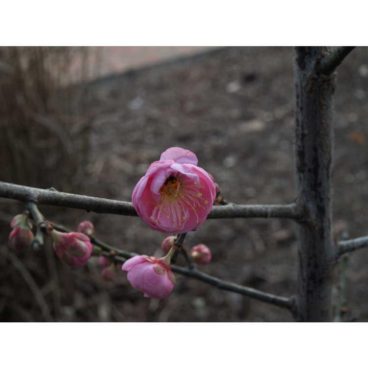 Prunus mume Peggy Clarke