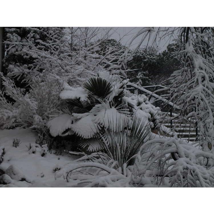 Trachycarpus fortunei (Bulgaria) - hardy windmill palm