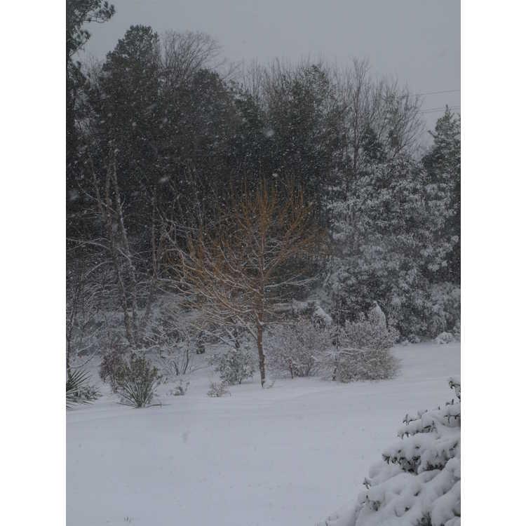 Acer negundo 'Winter Lightning'