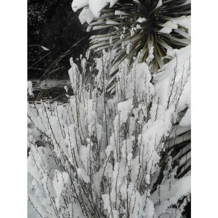 Berberis thunbergii var. atropurpurea 'Helmond Pillar' - upright purple-leaf Japanese barberry