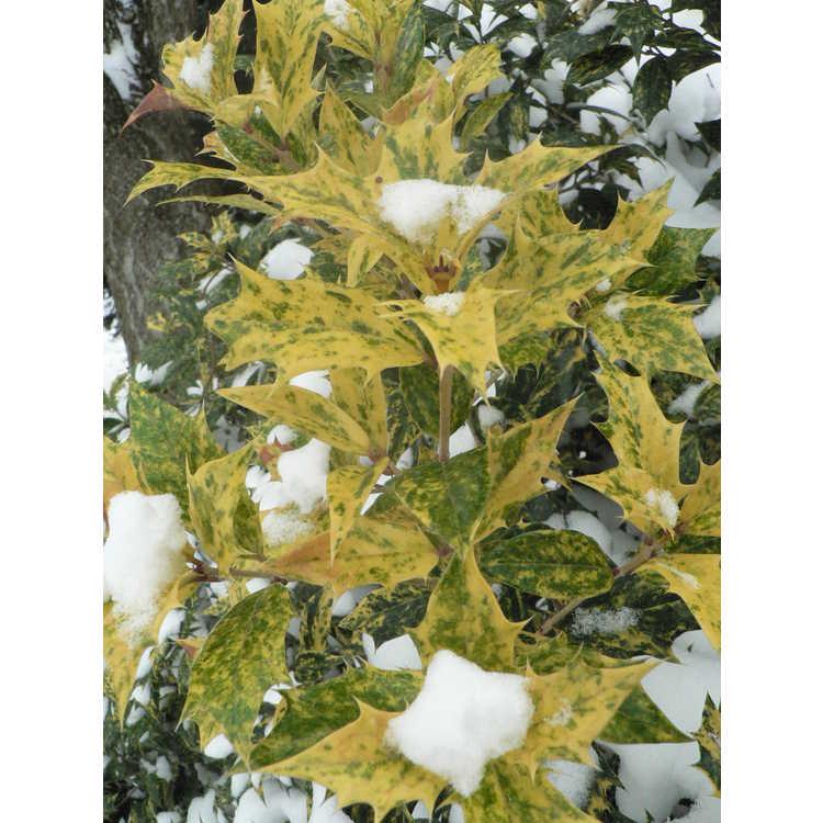Osmanthus heterophyllus 'Goshiki' - gold-dust holly tea-olive