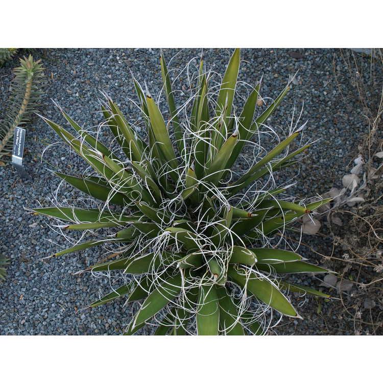 Yucca faxoniana - Faxon's yucca