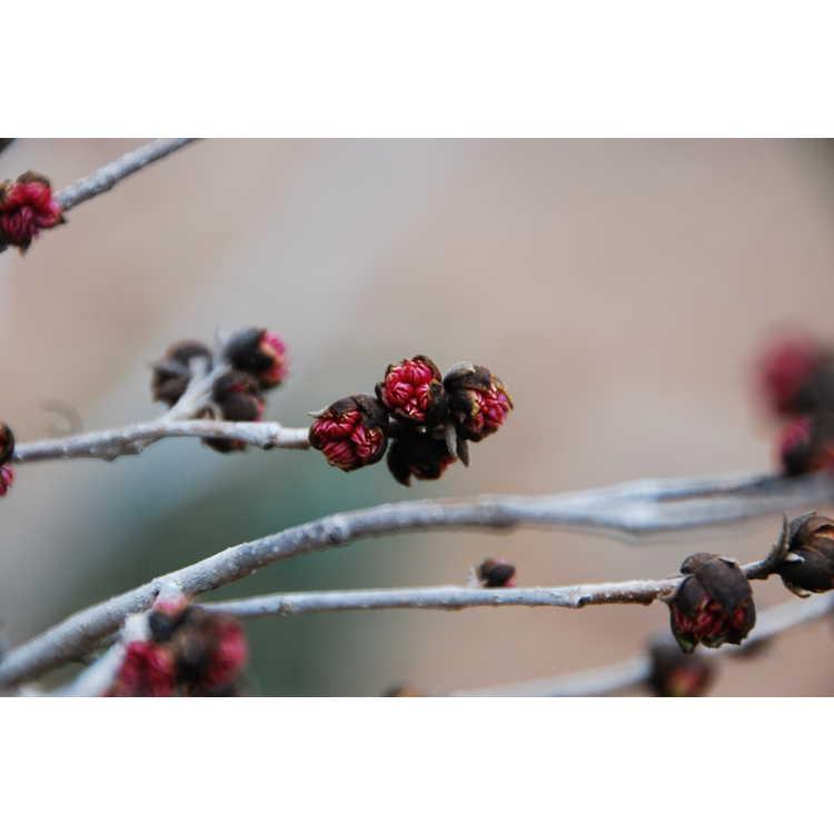 Sycopsis sinensis Variegata