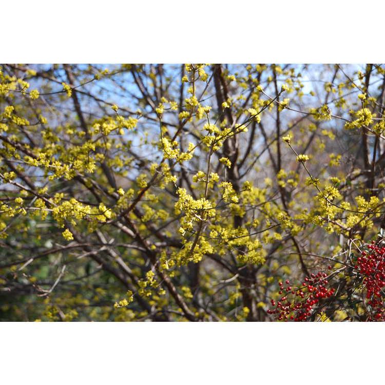 Cornus-mas-Spring-Glow-006-JCRA-2-12-09.JPG