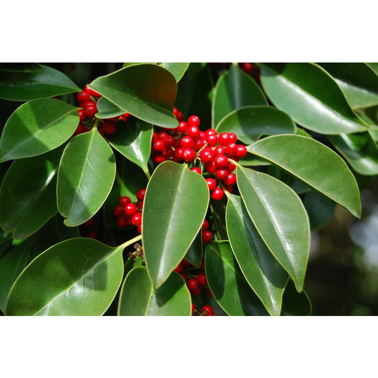 Ilex rotunda - round leaf holly