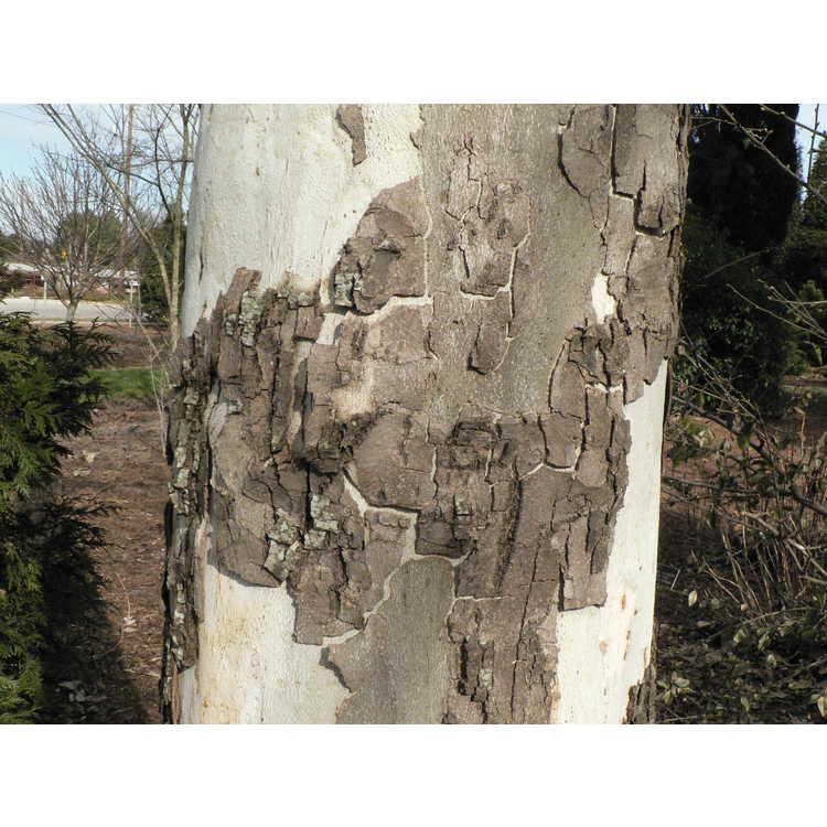 Platanus lindeniana