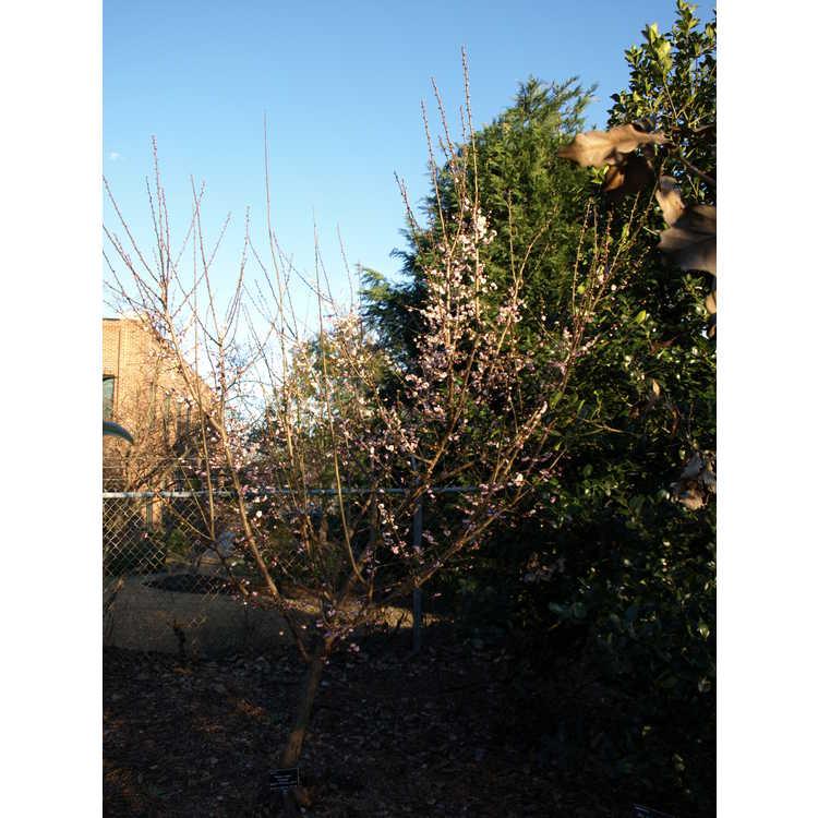Prunus mume 'Nicholas'