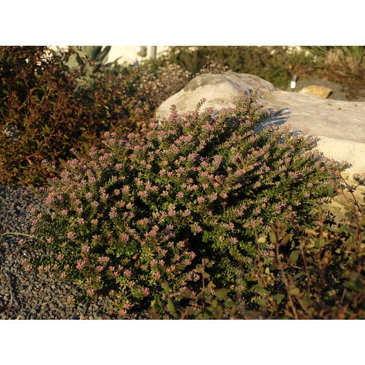 Vaccinium darrowii - Darrow's blueberry