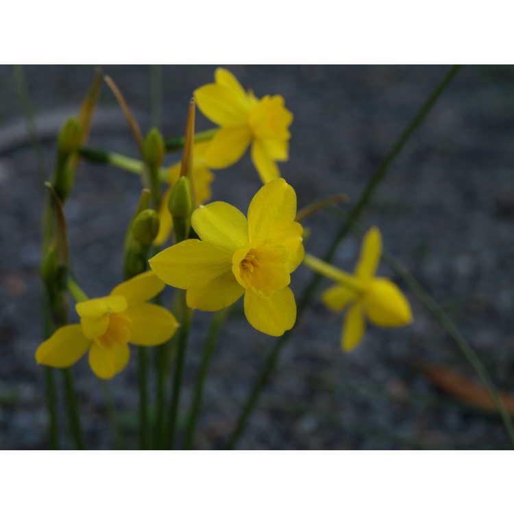 Narcissus jonquilla var. henriquesii - miniature daffodil