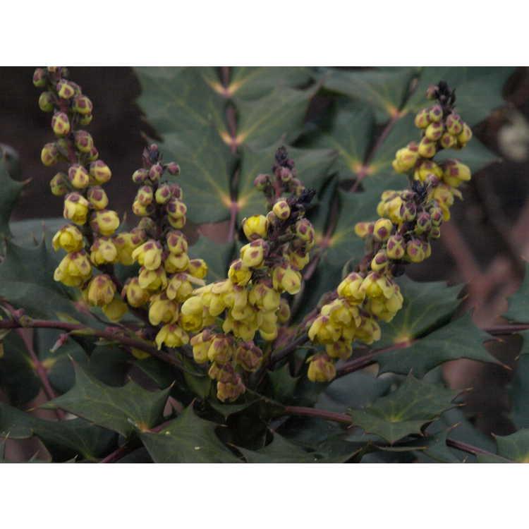 Mahonia japonica 'Hivernant' - Japanese mahonia