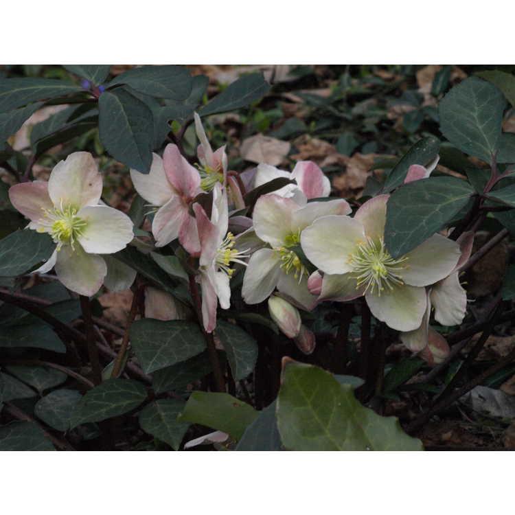 Helleborus ×ballardiae 'Raulston Remembered'