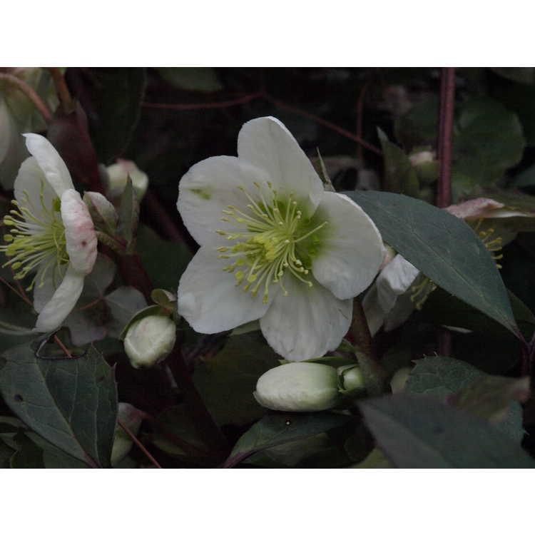 Helleborus ×ericsmithii