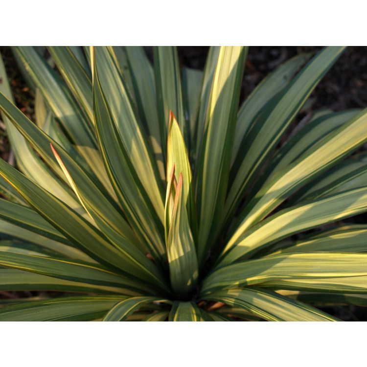 Yucca recurvifolia 'Hinvargas'