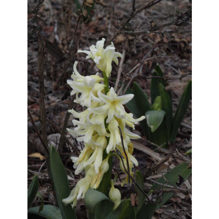 Hyacinthus orientalis 'Yellow Queen'