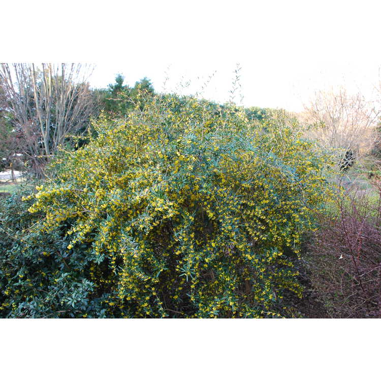 Berberis replicata