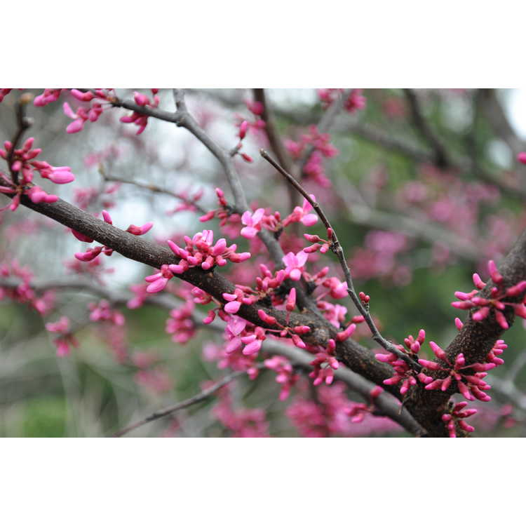 Cercis canadensis 'Pinkbud'