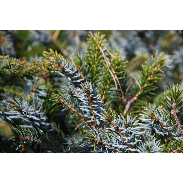 Conifer Collection
