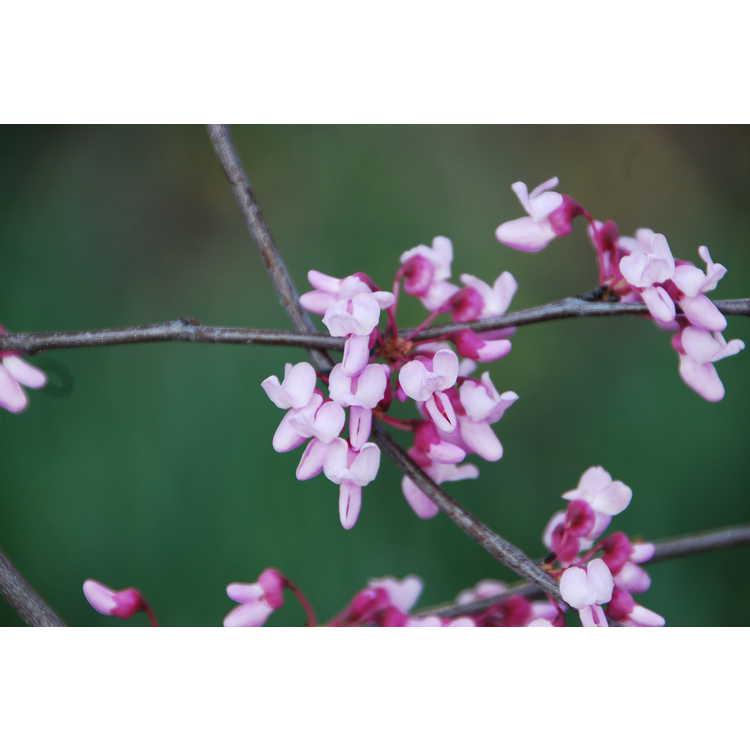 Cercis canadensis 'Silver Cloud' - variegated eastern redbud