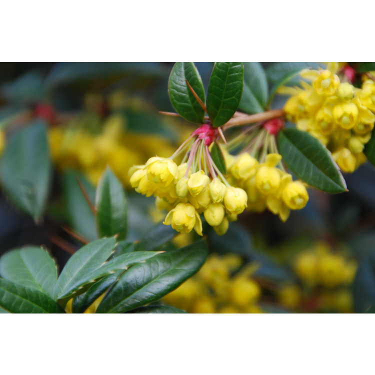 Berberis lempergiana - Chinese wintergreen barberry