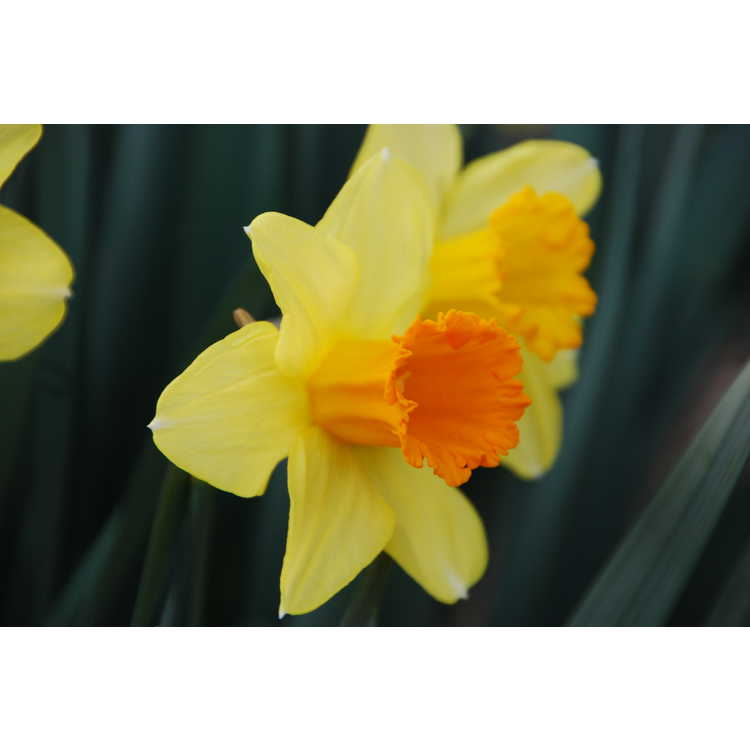 Narcissus Red Curtain
