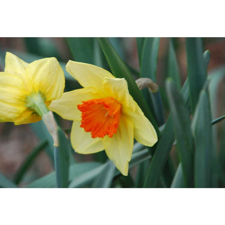 Narcissus 'Scarlet Royal' - large-cupped daffodil