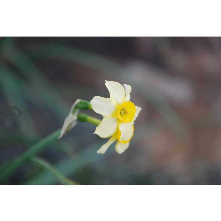 Narcissus 'Little Rusky'