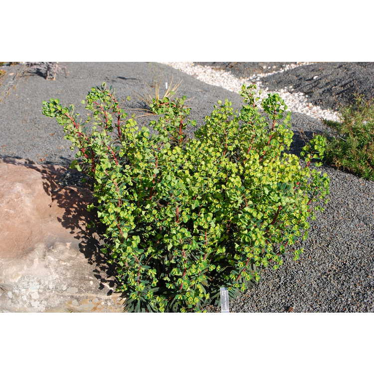 Euphorbia 'Canyon Gold'