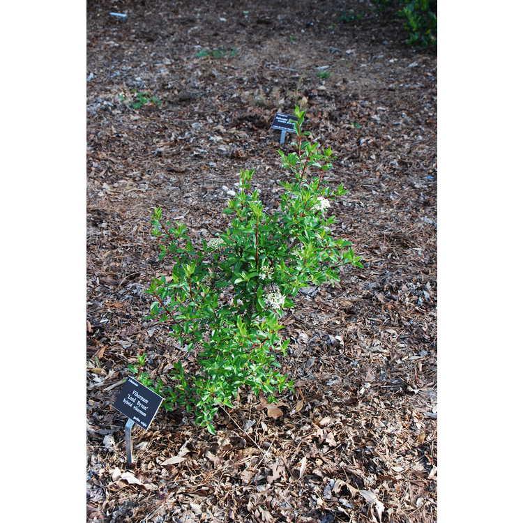 Viburnum 'Lord Byron' - hybrid viburnum