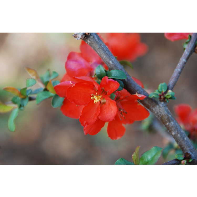 Chaenomeles ×superba 'Mandarin' - hybrid flowering quince