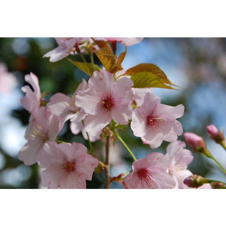 Prunus sargentii 'S. Edward Muller' - upright Sargent's cherry