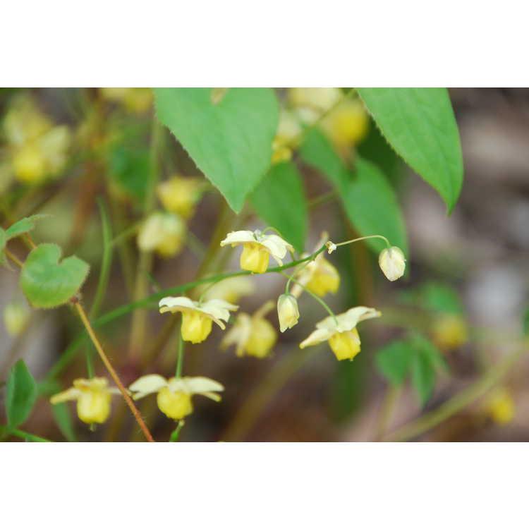 Epimedium versicolor Sulphureum