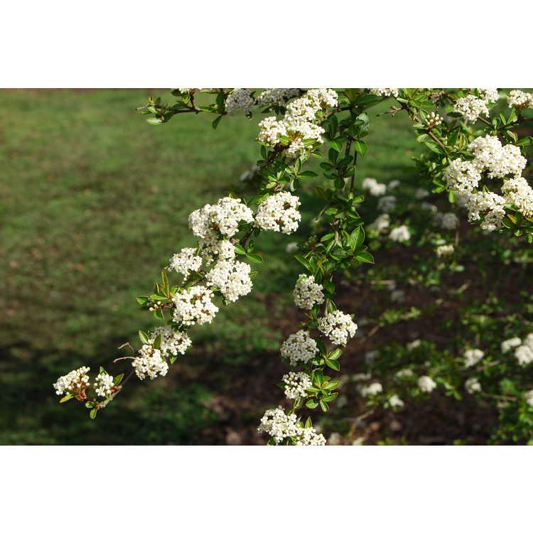 Viburnum obovatum 'St. Paul'