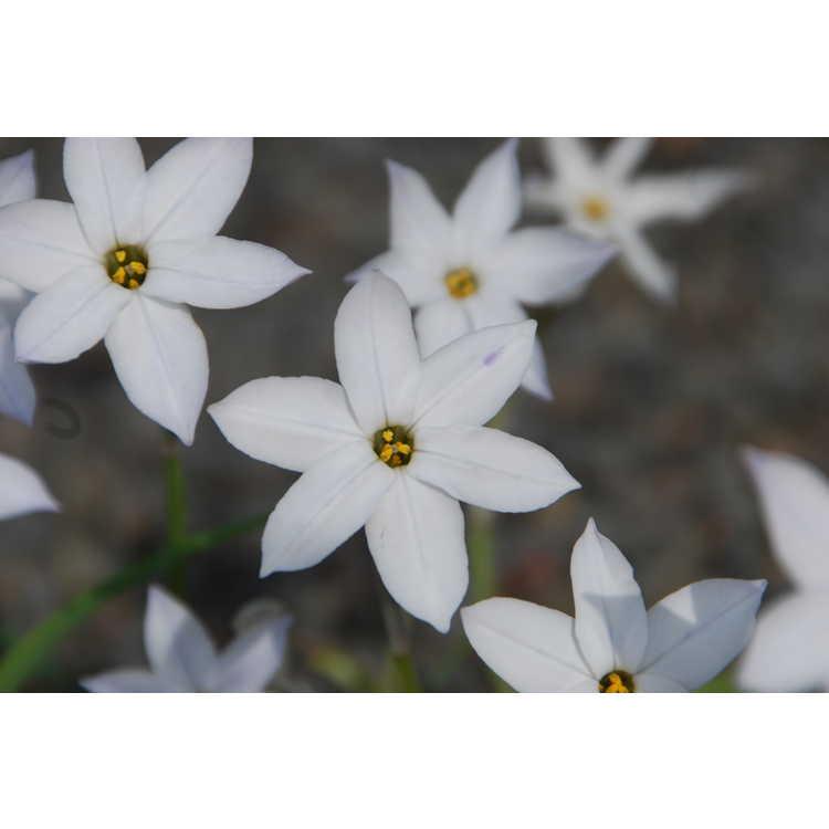 Ipheion uniflorum 'White Star' - spring star flower