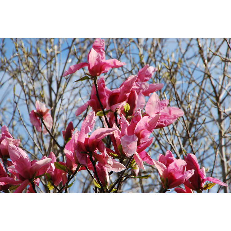 Magnolia 'Daybreak' - Kehr hybrid magnolia