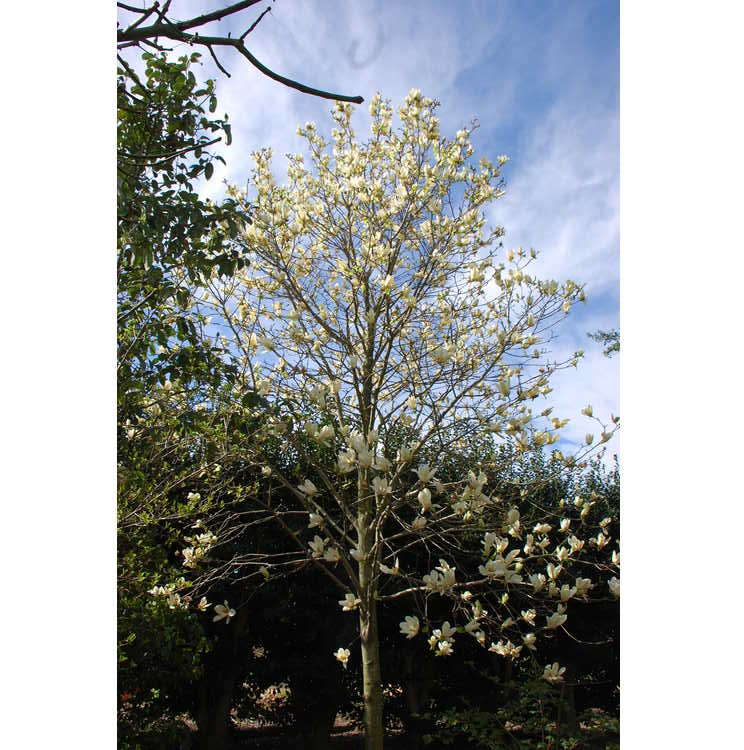 Magnolia Yellow Fever