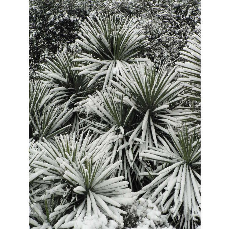 Yucca aloifolia - Spanish bayonet