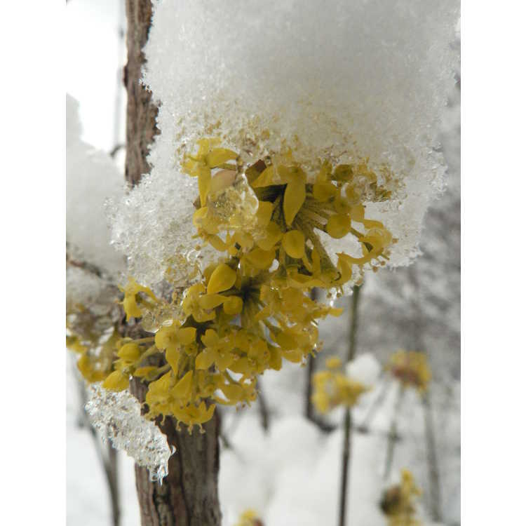 Cornus mas 'Pioneer' - Cornelian cherry