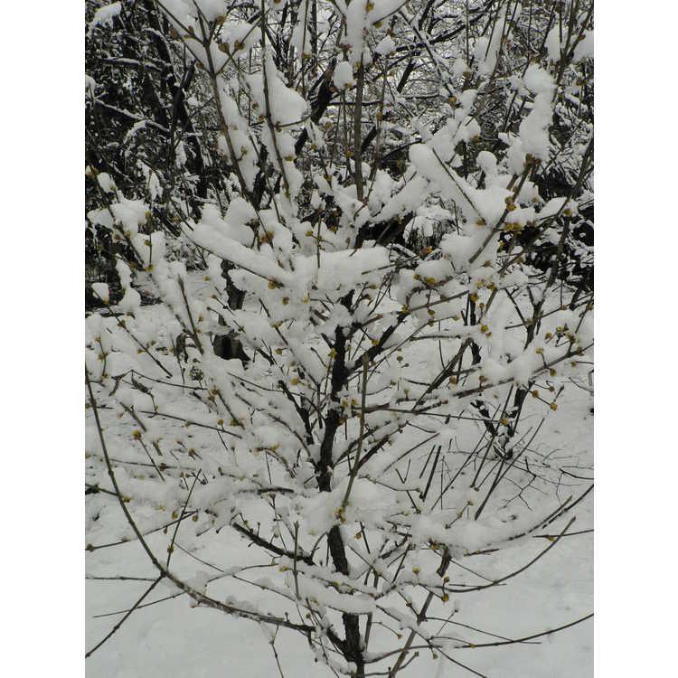 Cornus mas 'Vidubetskii' - Red Star Cornelian cherry