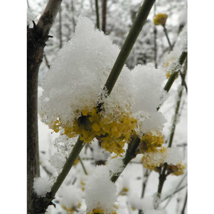 Cornus mas 'Flava' - yellow-fruited Cornelian cherry
