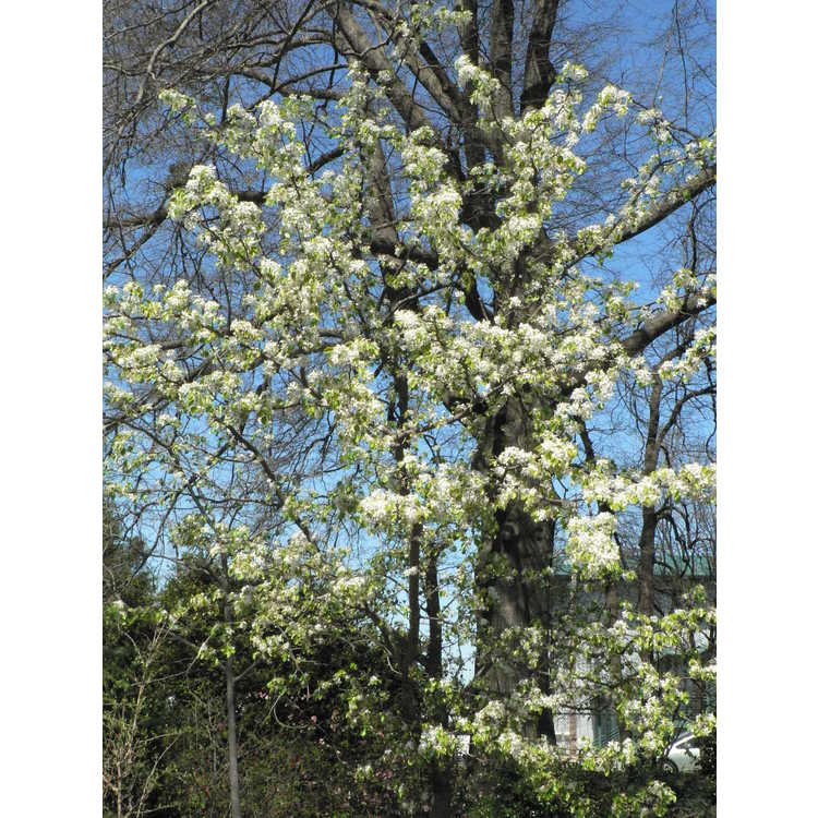 Pyrus 'Edgedell'