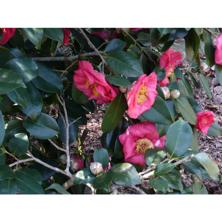 Camellia japonica 'Reg Ragland' - Japanese camellia