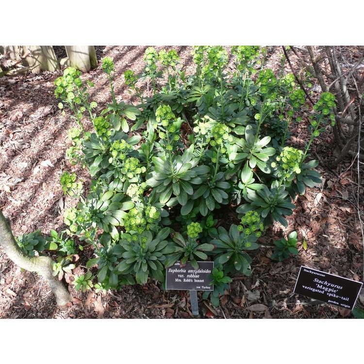 Euphorbia amygdaloides var. robbiae - Mrs. Robb's bonnet
