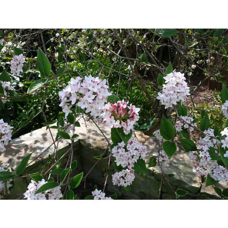 Viburnum ×burkwoodii 'Mohawk'