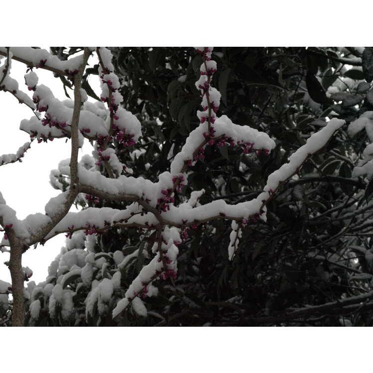 Cercis glabra - smooth redbud