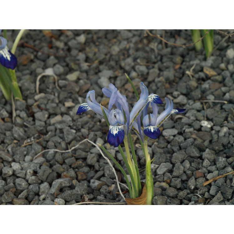 Iris [Reticulata Group] 'Spring Time'