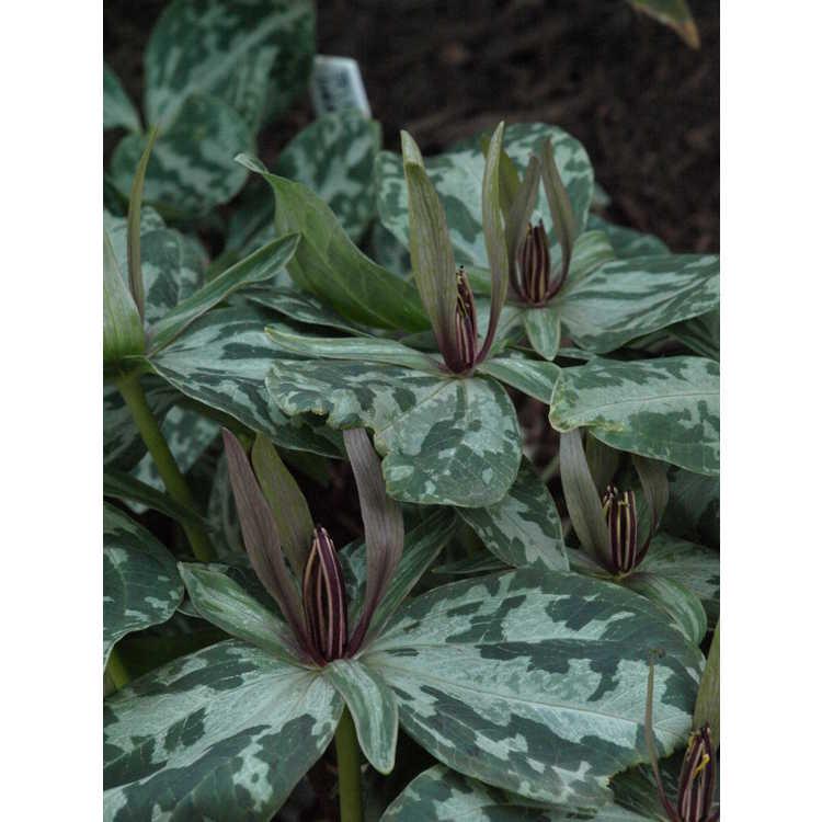 Trillium ludovicianum - Louisiana wakerobin